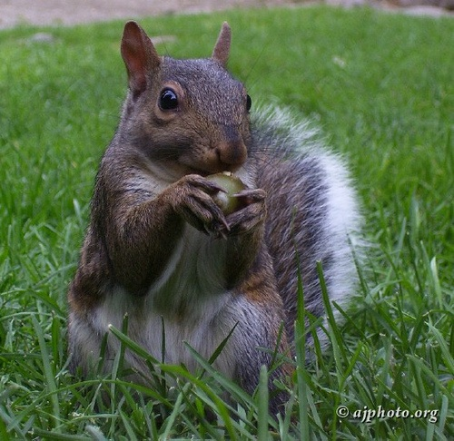 Squirrel munching on acorn
