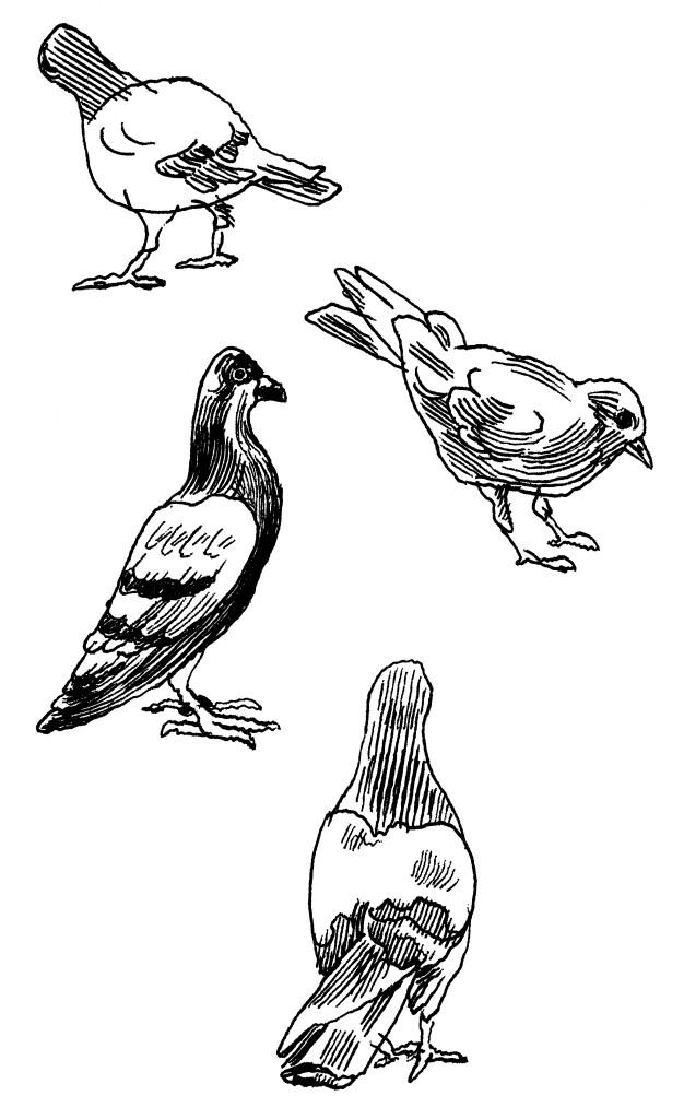 Pigeons-Jason-Polan-626x1024